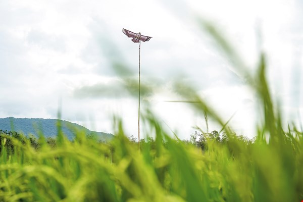 One technique used in organic agriculture is to set up hawk-shaped kites to scare away small birds that eat rice grains.
